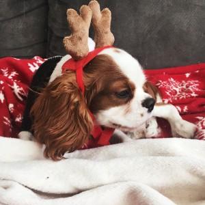 christms dog